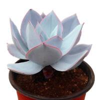 Succulent Live Plant - Echeveria Cante 8cm - Home Garden Beautiful Lovely Plant
