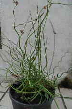 3 plants jonc diffus spiralé tortueux  plante de rive vert bassin marais étang