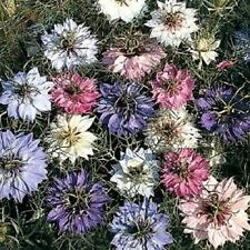 500 Love In A Mist Persian Jewels Mix Nigella Seeds