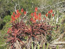 8 Graines - Aloe Cameronii - Plante succulente - Samen Semi