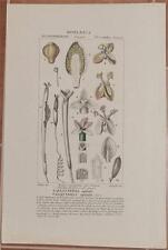 TURPIN BOTANICA VALLISNERIA SPIRALE SPIRALIS STRAIGHT VALLISNERIA BOTANY 1831