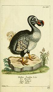 The Dodo by Daniel Sotzmann 1780 vintage nature Photo print Canvas