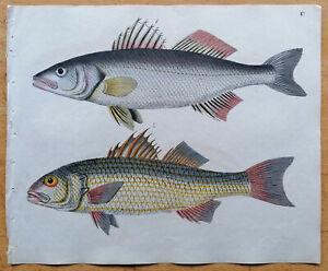 Strack Naturgeschichte Originaldruck Fisch (T100) - 1840
