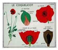 Objet pédagogique affiche set de table Coquelicot fleur fruit une capsule  N°17