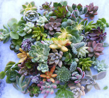 10 Assorted Rosette Succulent Cuttings Assorted rosette Varieties