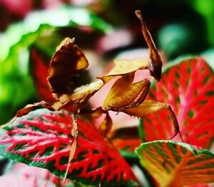 L4 GHOST MANTIS Live insects, crickets used as bait or feeder food for pets
