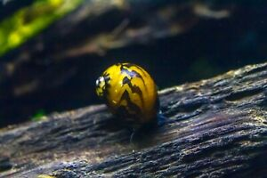 3 x Batik Nerite snails, Fresh Water Snail