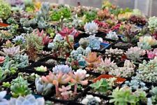 100 Rare Mixed Succulents Seeds Mini Potted Flower Herb Lithops Seeds S015