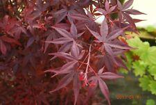 Japanese Maple Hime Shojo