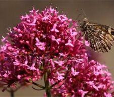 RED VALERIAN Centranthus Ruber JUPITER'S BEARD Dark Pink Perennial 30 Seed