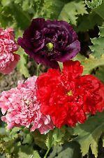 Flower - Poppy - Papaver Somniferum Double - 4000 Seeds