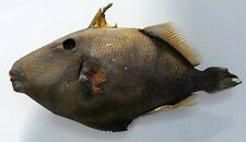 LARGE REAL FISH TAXIDERMY FISH MOUNT HOME DECOR ART SKELETON REAL DEAD FISH