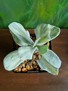 Cotyledon Orbiculata Variegated Rare Silver Waves Succulent Collectors plant🌵