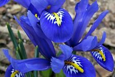 20 x Fragrant - IRIS Reticulata - Dwarf Spring Flowering Garden BULBS