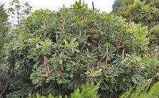 Bull Banksia (Banksia grandis) - 10 Seeds