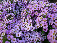 Alyssum - ROYAL CARPET  - 2500 SEEDS - Lobularia Maritima - ANNUAL FLOWER