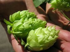 CALYPSO HOP SEED * BULK 100 SEEDS* APPLE/PEAR AROMA * CASH CROP * BEER *
