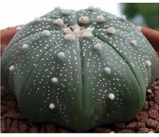 ASTROPHYTUM ASTERIAS Sand Dollar Cactus 10 seeds