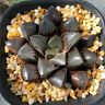 Haworthia Hybrid Succulent plants potted Plants Home Garden Bonsai Garden