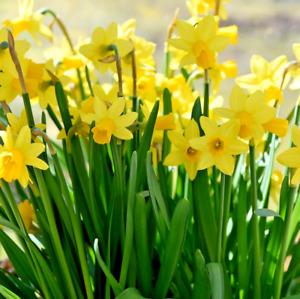 DAFFODIL BULBS 'TETE A TETE' 50 Dwarf Miniature Narcissus Bulbs