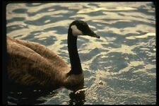 048057 Close Up Canada Goose A4 Photo Print