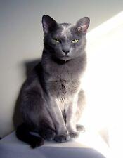 Metal Magnet Gray Korat Cat Green Eyes Cats Magnet