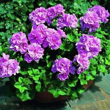 Geranium Pelargonium Peltatum Purple 50 Seed Rare Perennial Flower Fresh Seeds