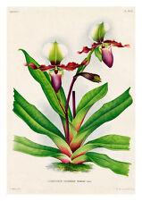 Cypripedium Victoriae Mariae by Jean Linden Orchids A4 Art Print