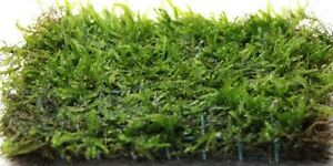 20g JAVA MOSS breeding carpeting aquarium plants live aquatic easy grow bogwood