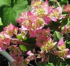 LIMBERLOST BEAUTY Bougainvillea SEMI-THORNLESS Cherry Blossom flowers plant