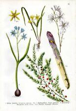 1909 WILLKOMM CHROMO squill, asparagus, St Bernard's-lily, star-of-Bethlehem