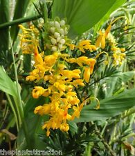Globba Schomburgkii 10 Seeds, Dancing Girl Ginger, Fairy Ginger Flowering Garden