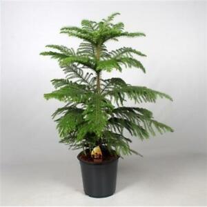 Araucaria heterophylla Norfolk-Tanne Zimmerpflanze Grünpflanze