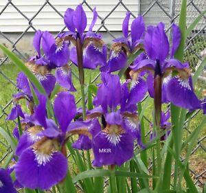 Siberian Iris ~Caesars Brother~  (10) iris rhizomes
