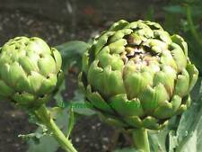VEGETABLE  ARTICHOKE  GREEN GLOBE  300 FINEST SEEDS