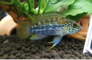 1 Pair Apistogramma D18 Young Live Tropical Fish Dwarf Cichlid Captive Bred