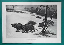 "WILD BOARS Roaming Winter Countryside - Victorian Era Print 14.5"" x 21"""
