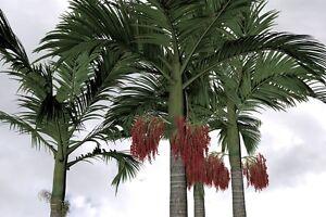 Die exzellenten Palmblätter der ALEXANDER-PALME erstrahlen in einem satten Grün.