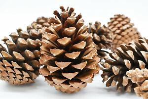 Tannenzapfen Zapfen Groß Landhaus Advent Weihnachten Kranz Basteln ca. 10-13cm