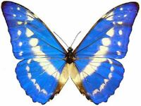 Morpho cypris ONE REAL BUTTERFLY BLUE WHITE UNMOUNTED WINGS CLOSED COLOMBIA