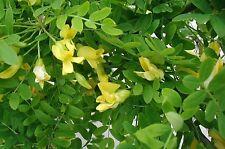 Siberian Pea Tree - Caragana Arborescens - 25 seeds - Ornamental Shrub - Berries