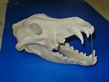 "Genuine  -  ""Canis Lupus"" - Skull  -  Antler  Skeleton Trap  Mount  Bone Hunt"