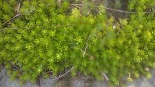 Sedum Plant Vintage ☆10 Cuttings ☆ Drought Tolerant Ground Cover Succulent