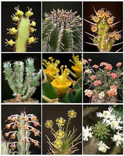 EUPHORBIA VARIETY  MIX  exotic succulent  rare cactus plant seed cacti 100 SEEDS