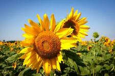Bright Yellow Sunflower Seeds Here For You!