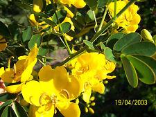 KASSIA , australisch, gelber Blütenbaum, herrliche goldgelbe Blüten