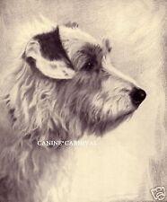 SCARCE Art Dog Print 1935 SEALYHAM TERRIER  Dog by Malcolm Nicholson GORGEOUS!