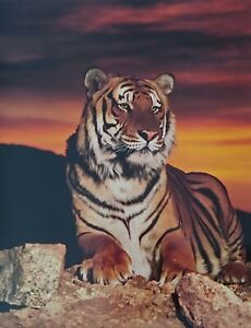 Tiger At Sunset Print
