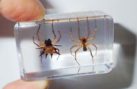 Spiny Spider & Water Spider Collection Set Clear Education Insect Specimen