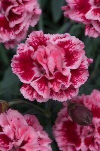 Dianthus Scent First Sugar Plum  9cm organic pots 💮'